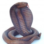 COBRA (Brown color) 1