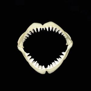 GREAT WHITE SHARK JAWS (Large) 1