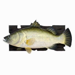 BARRAMUNDI FISH WALL DÉCOR (4 FT